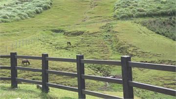擎天崗水牛營養不良亡 北市罰中央7.5萬元