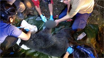 不捨! 台灣黑熊被困陷阱 身上竟有3處彈孔