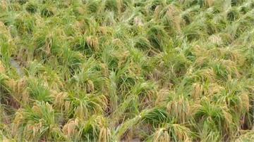 梅雨季怕稻穗太重倒伏 水稻綑綁立田中