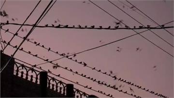密集恐懼症發作!千隻家燕「夜襲」排排站電線