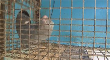 新冠疫情燒到水貂 美國已死至少1萬隻