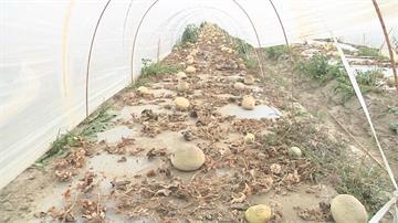 洋香瓜重鎮 台南五百多公頃急凍 藤蔓、根系全凍壞 僅能採收兩三成