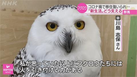 日本「貓頭鷹咖啡店」因疫倒閉 志工接手照料店內貓頭鷹