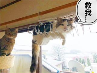 《受困高處的貓咪》我想聽你好好解釋,是怎麼樣把自己卡進衣架裡的...ww