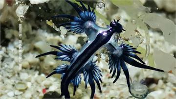 遊綠島尋找「海神」! 「藍蛞蝓」鮮豔有毒性