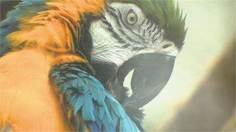 飼養前請三思!金剛鸚鵡親人又聒噪 愛咬東西如「無敵破壞王」