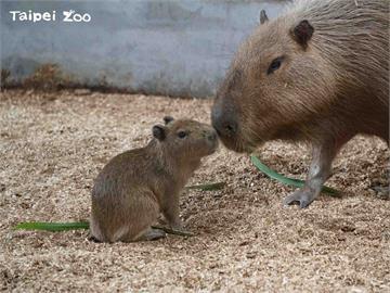 北市動物園水豚寶寶「車車」亮相 5月揭曉性別