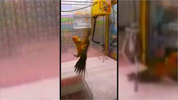 網友拳頭硬了!活鸚鵡淪為鐵爪活靶 驚恐亂竄挫青屎