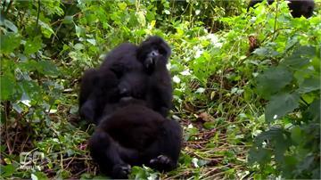 全球/武漢肺炎登陸非洲 人類瀕危近親大猩猩陷危機