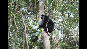 花蓮落單小黑熊 未來將野放重返大自然
