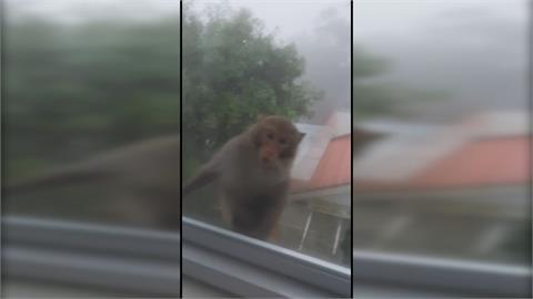 新店社區成猴群作亂花果山!?擅闖民宅還知「滅證」折斷監視器