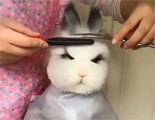 敲可愛《替兔子理髮》這麼乖 裡面真的沒有躲著一個人?