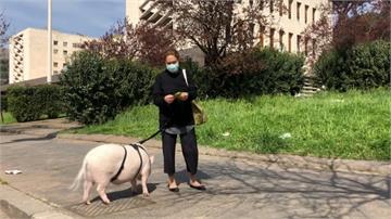 為突破「軟封城」花招百出!義大利主人帶寵物豬出門小解
