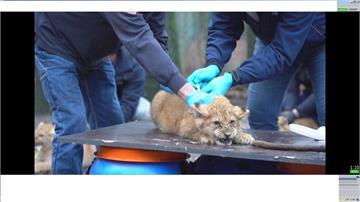 獅寶寶注射貓流感疫苗 齜牙咧嘴表情逗趣