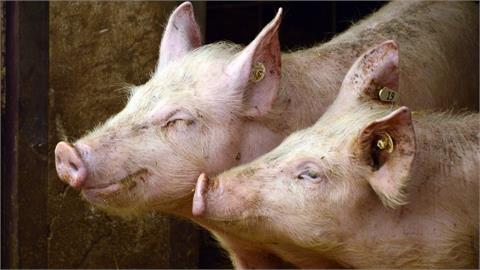 實現豬肉自由?中國豬企半年「全虧」逾百億 豬價慘跌養豬大戶苦哈哈