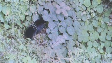 搜救失聯研究生 意外直擊黑熊一家覓食