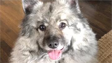 全球最可愛的狗是牠!荷蘭毛獅犬奪「萌」主寶座