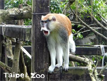快新聞/紅猴奪門而逃! 北市動物園急尋籲:民眾發現立即通報