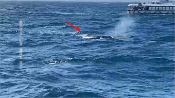 抹香鯨睽違五年再度現身宜蘭外海!賞鯨船幸運遇嬌客