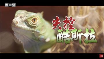 異言堂/酷斯拉在台灣現蹤?外來種綠鬣蜥全面入侵