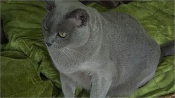 絕跡逾70年「緬甸貓」 緬甸10年復育有成