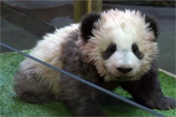全球唯一法國誕生貓熊 「圓夢」明年一月將見客