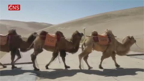 避免與遊客搶道 全球首座「駱駝專用紅綠燈」啟用