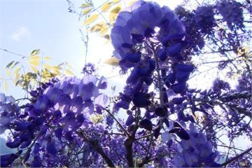 超級浪漫!「這裡」白天賞紫藤花 夜觀螢火蟲