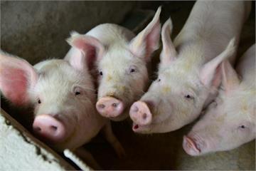 馬祖海漂豬確認驗出非洲豬瘟!豬肉製品禁運島內1週