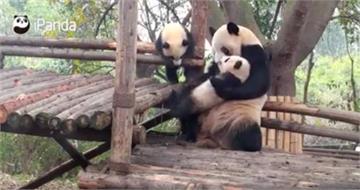 熊貓媽媽對小孩「超級粗魯」!超狂舉動讓網友笑翻:「終於知道為什麼差點絕種」|寵物愛很大