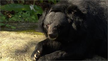 遊客心疼投訴 嫌台灣黑熊太瘦 台北動物園澄清:年老但沒過瘦