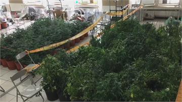 破大案了 這些大麻市價五億! 嘉義警方破獲 續追查上下游