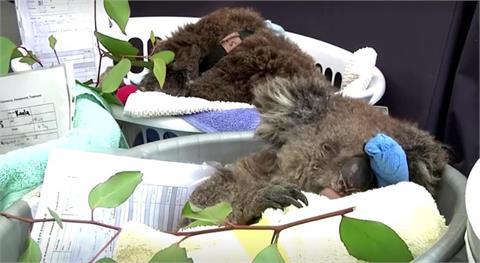 澳無尾熊數量三年減三成 南非63企鵝罕見遭蜜蜂攻擊亡