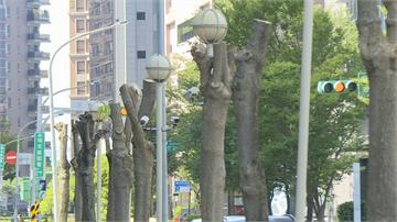 內科路樹遭行刑式修剪!  名模教母批「粗暴」籲勿當綠樹殺手