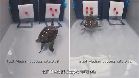 台師大團隊透過食物獎勵方式 訓練烏龜學算數