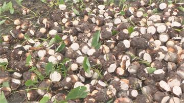 苗栗公館「檳榔心芋」!逾8成芋頭熱傷害「坑坑疤疤」
