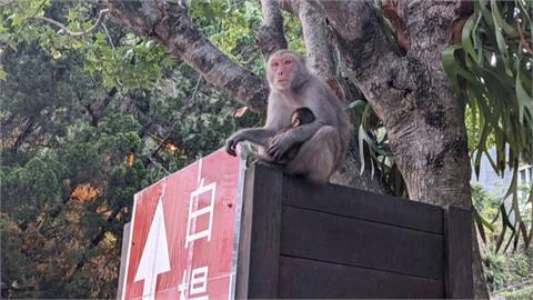 獼猴逛郵局、搶食物傷遊客 太管處籲民眾別餵食