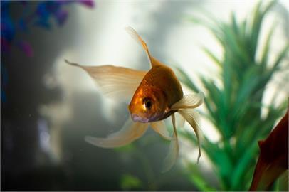 野放竟「巨大化」!30公分金魚成「生態殺手」害慘河川生態系