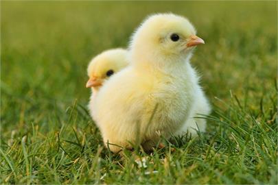 熟雞蛋還能孵出小雞?中國奇葩「論文」揭亂象