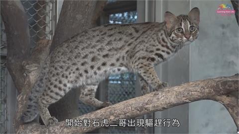 北市動物園小石虎命名票選 「虎力勇」票數暫居領先