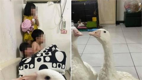 管小孩心好累!媽媽派2隻「風紀股長鵝」鎮壓 網笑:養鵝防小