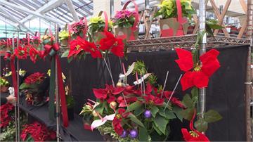 耶誕節將至!花市推繽紛聖誕紅、台式旺德福