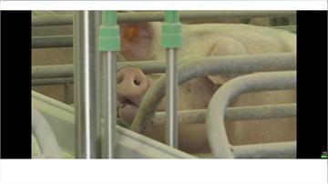 德國爆首例非洲豬瘟 我國啟動直航班機檢疫