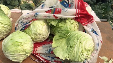 高麗菜價崩! 採收不敷成本 雪翠品種開放自採