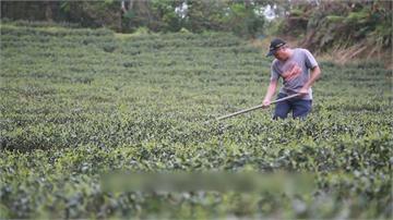 賣茶葉傾家盪產 只為保育藍鵲生態...苦盡甘來!開創有機茶成功營收破千萬