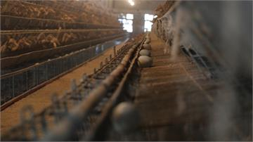 格子籠養鴨 重創台灣形象影響出口歐美