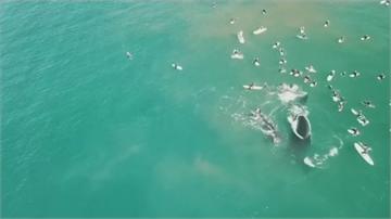 巴西鯨魚群聚嬉戲 澳洲母鯨護兒傷浮潛客
