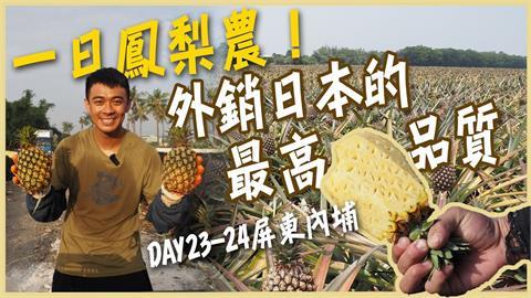 摘葉沖水再噴洗!金鑽鳳梨銷日關卡多 甜度16度成另類台灣之光