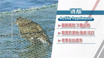 台南「小磯鷸」受困蟹籠緊急搶救不幸滅頂
