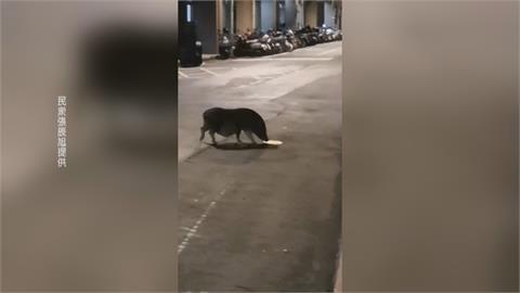 悶太久出來散步!麝香豬逛大街趴趴走